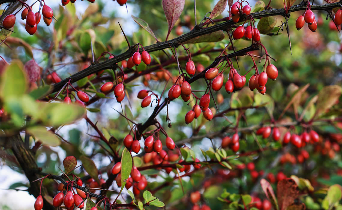 Berberis / Japanese barberry