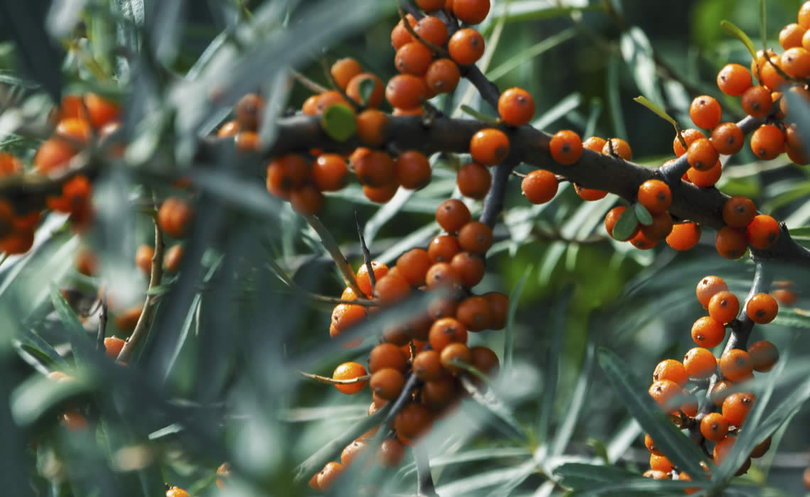 Sea Buckthorn Mix